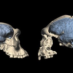Modernes Gehirn ist jünger als gedacht